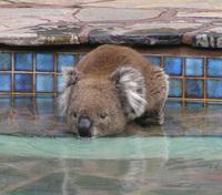 Koaladrinks